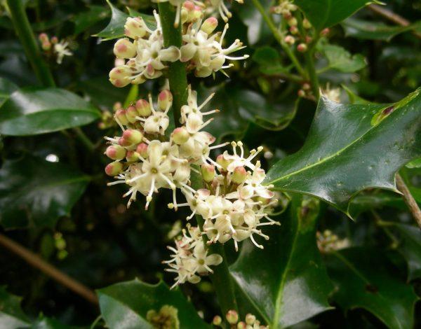 Hoe Sint-Nicolaas ervoor zorgde dat één loofboom zijn bladeren in de winter vasthoudt. Hulst (014)