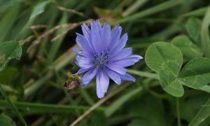 CICHOREI, de blauwe ogen van een jonkvrouw (033)