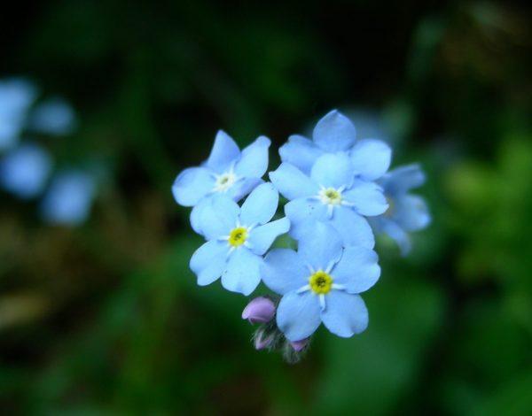 Hoe een vergeetachtige plant zijn naam kreeg (043)
