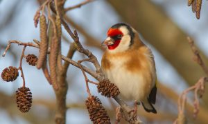 hoe het lelijkste vogeltje veranderde in een van de mooiste, de putter (005)