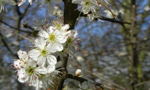 Waarom de SLEEDOORN witte bloemen heeft (054)