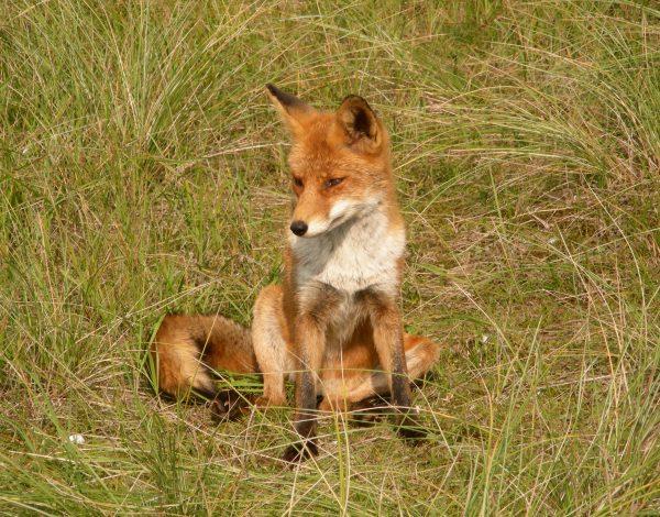Waarom de haas een korte en de vos een lange staart bezit (065)
