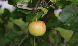 """""""Eet je jong"""", appels (95)"""