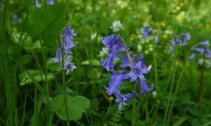 Waarom de blauwe hyacint heerlijk ruikt (108)
