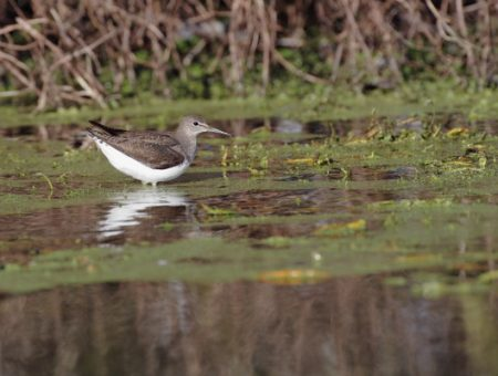 Heaven isn't quite what it's made out to be, the Green Sandpiper (065)
