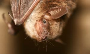 Waarom de vleermuizen nachtdieren zijn (086)