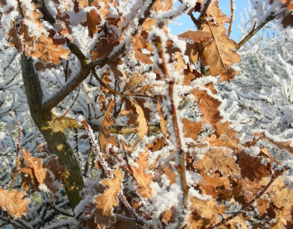 Waarom de EIK in de winter zijn blad vasthoudt (005)