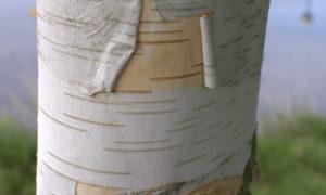 Waarom de BERK kleine blaadjes en een witte stam heeft (074)