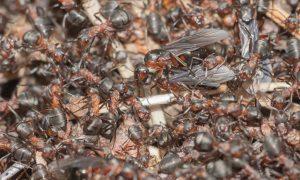 De wijze raad van een mieren-koningin (098)