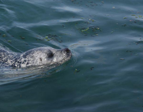 Onvoorwaardelijke moederliefde, de zeehond (050)